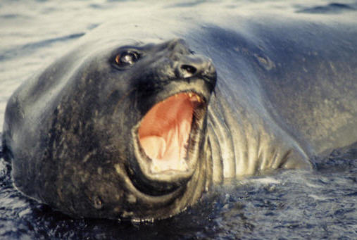Elephant Seal, Antarctic Penisula © Shirley Burchill