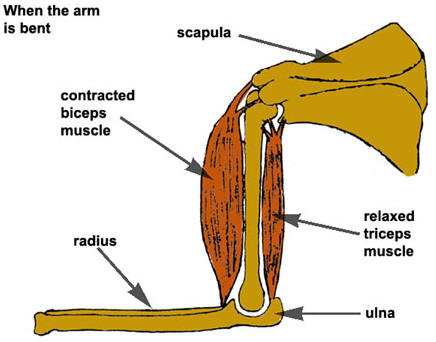 Bent Arm Muscles Diagram - Block And Schematic Diagrams •