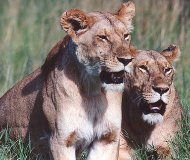 Lionesses, Kenya © Shirley Burchill