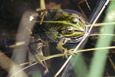 Frog, Northern France © Shirley Burchill