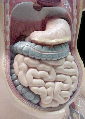 Model of the Human Digestive System © Shirley Burchill