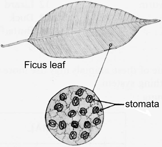 Drawing of Ficus leaf with stomata magnified � Shirley Burchill