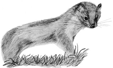 Drawing of a stoat ©  Shirley Burchill