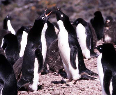 Adelie Penguins, Antarctic Penisula © Shirley Burchill