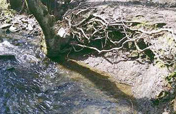 Water erosion has caused the roots of this tree to be exposed, Sheffield, UK © Shirley Burchill