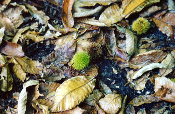 Leaf litter on a deciduous forest floor  © Shirley Burchill