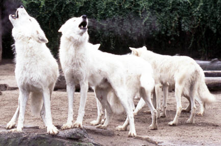 A pack of wolves, Berlin Zoo, Germany © Shirley Burchill