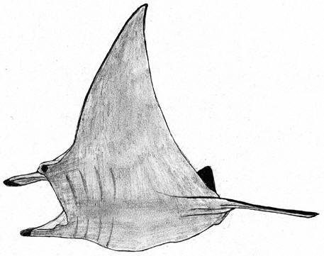 Drawing of a sting ray © Shirley Burchill