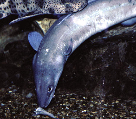An electric eel, Marine Aquarium, Plymouth, UK © Shirley Burchill