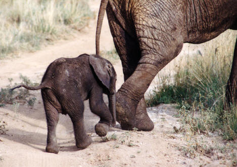 Elephants produce baby elephants © Shirley Burchill