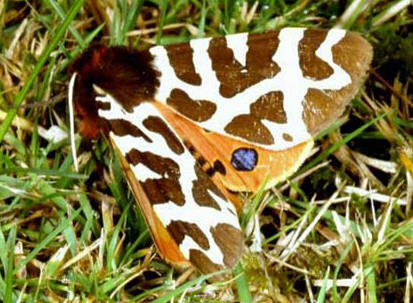 Moths can warm up their bodies by shivering (photo by Paul Billiet)